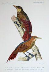 作者:Francis de CASTELNAU 名稱:砍林鳥科(Dendrocolaptidae)。 署名:Francis de CASTELNAU。 技法:石版,手繪上彩。 年代:1850-1859。 尺寸:31,5 x 22,5 cm。(D-Birds-12)