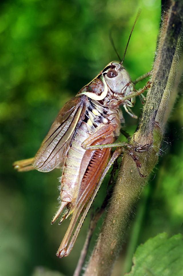 紀念羅瑟成就,以其名命名的羅氏姬螽(Metrioptera roeseli)。