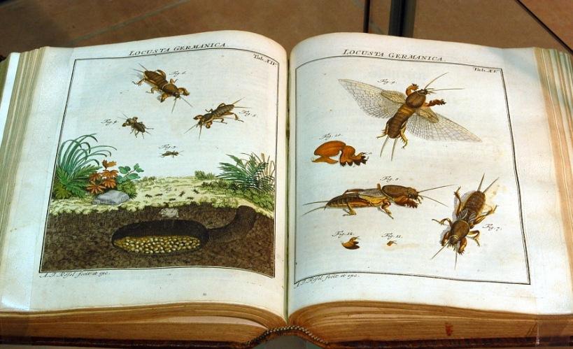 羅瑟第一本生物誌《有趣的昆蟲》(Insecten-Belustigung)內頁。