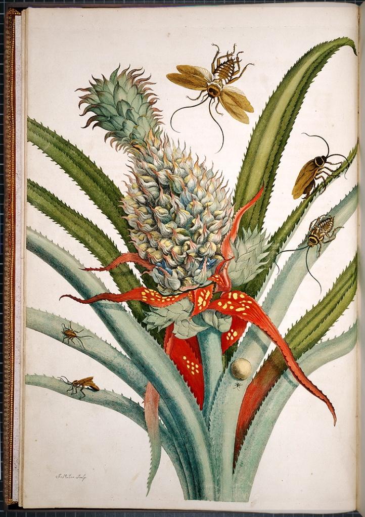 瑪麗亞•西碧拉•梅里安(Maria Sibylla Merian)的《蘇利南昆蟲之生長變化》(Metamorphosis insectorum Surinamensium)內頁插圖。