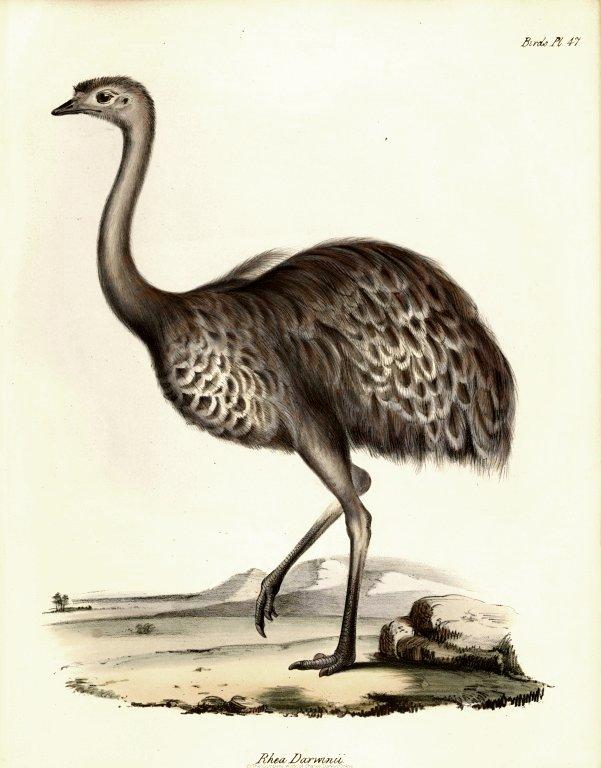 英國鳥類學家約翰‧古爾德(John Gould, 1804-1881)繪製的美洲小鴕(Rhea pennata),又名達爾文鶆䴈(Darwin's rhea),於1841年出版。在小獵犬號的行程中,達爾文最初認為美洲鴕鳥及美洲小鴕是同一種鳥的不同形態,但在旅程的後期則確定牠們是不同的物種。