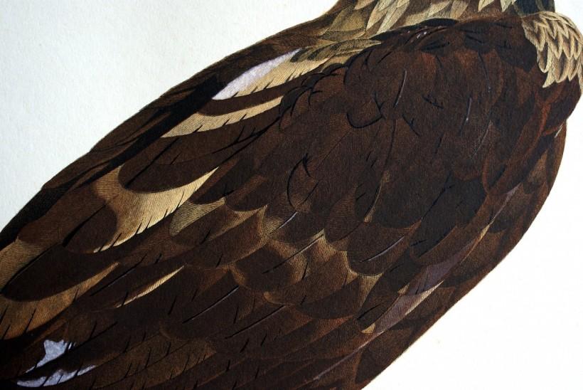 埃及老鷹羽毛細節