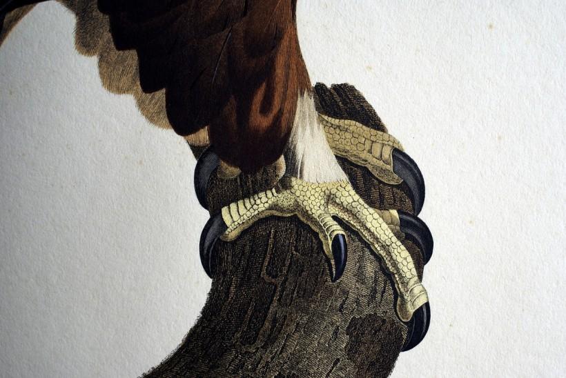 埃及老鷹爪子。