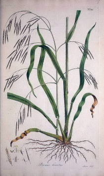 類雀麥(Bromus ramosus Huds.)