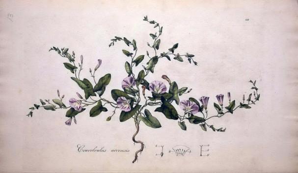 田旋花(Convolvulus arvensis)