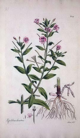 柳葉菜(Epilobium hirsutum)