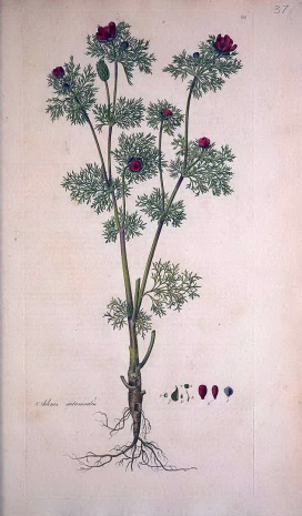 秋側金盞花(Adonis annua)