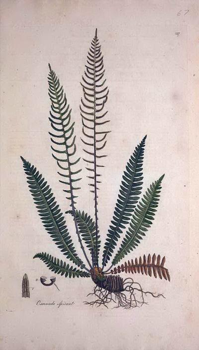 穗烏毛蕨(Blechnum spicant)