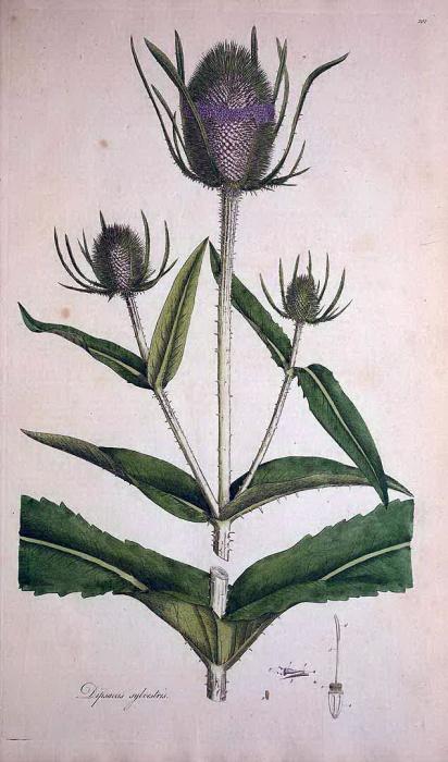 起絨草(Dipsacus fullonum)