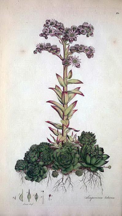 淩櫻(Sempervivum tectorum)