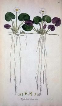 冠果草(Hydrocharis morsus-ranae)