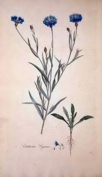矢車菊(Centaurea cyanus)