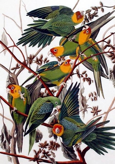 已絕種的卡羅萊納長尾鸚鵡(Carolina parakeet)