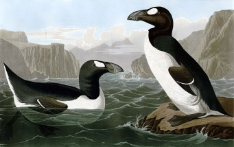 已絕種的大海雀(great auk)