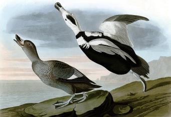 已絕種的拉布拉多鴨(Labrador duck)