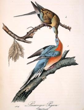 已絕種的旅鴿(passenger pigeon)