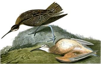 已絕種的愛斯基摩杓鷸(Esquimaux curlew)