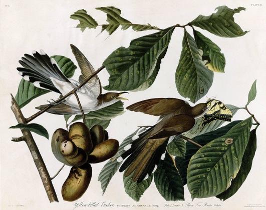 圖鑑第二張:黃嘴杜鵑(the yellow-billed cuckoo)