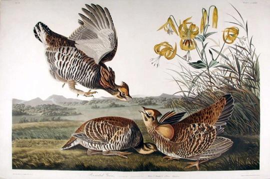 已絕種的新英格蘭黑琴雞(pinnated grouse)