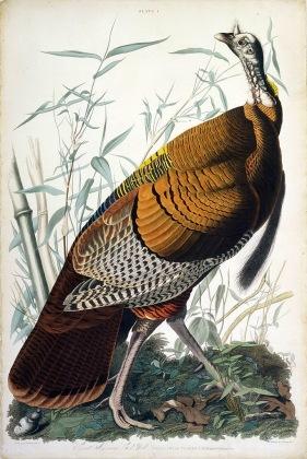 圖鑑第一張:野火雞(the cock wild turkey)