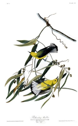 圖鑑第三張:藍翅黃森鶯(the prothonotary warbler)