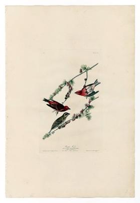 圖鑑第四張:紫红朱雀(the purple finch)