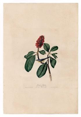 圖鑑第五張:加拿大威爾遜森鶯(the Canada warbler)